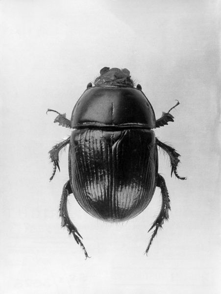 A Dung Beetle. Date: 1960s