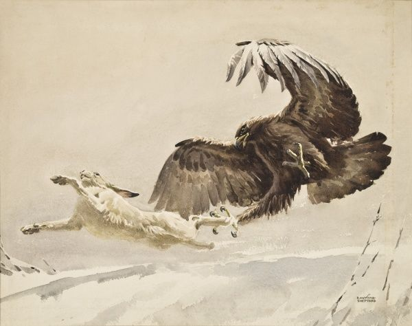 An Eagle swoops to catch a fleeing Arctic Hare in its outstretched talons. Watercolour painting by Raymond Sheppard