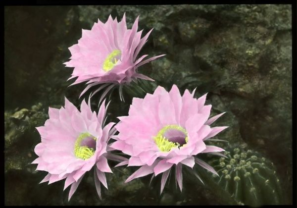 Echinopsis Multiplex, a succulent plant of the Cactaceae (cactus) family