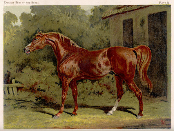 Great-grandson of 'Darley Arabian', raced 1769-1770 in 18 races, all of which he won. His skeleton is preserved in the Royal Veterinary College