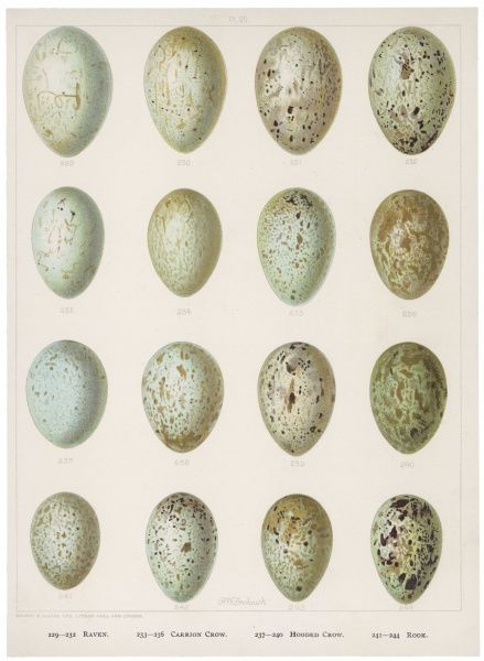 Eggs of raven crows, rooks and jackdaws