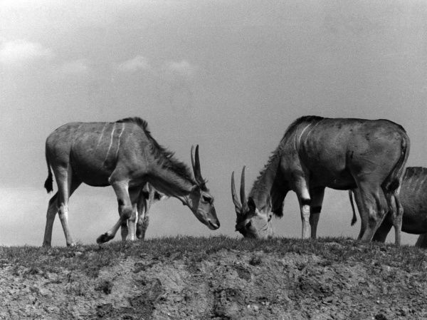 Eland antelopes at Chester Zoo, Cheshire, England. Date: 1960s