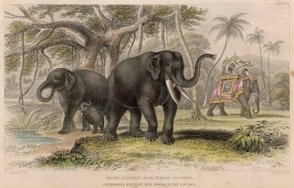 A family of Indian elephants in the wild, with a working elephant in the background