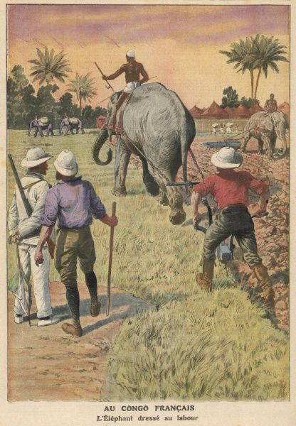 Elephants ploughing in the French Congo, Africa