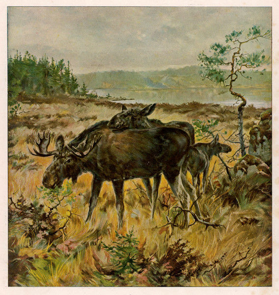 A family of Swedish elks grazing (alces malchis) : this is the largest species of deer : it is known as moose in north America