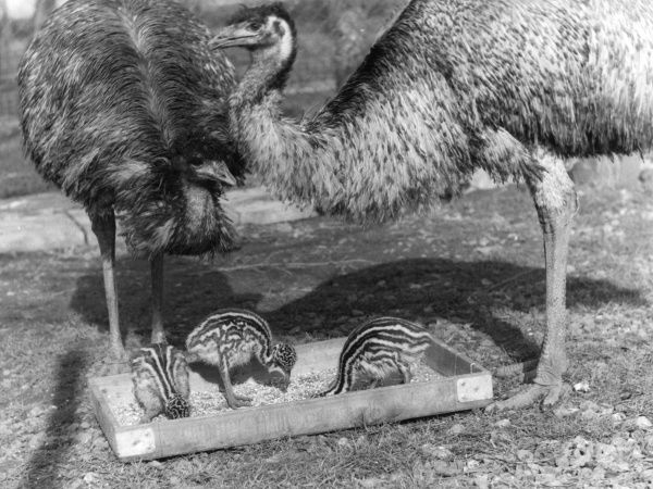 Emus and their chicks. Date: 1960s