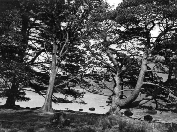 A study of the trees by Lake Derwentwater, near Swinside, Cumbria, England. Date: 1950s