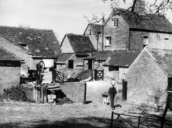 The Farmyard, Budbrook, Warwickshire, England. The farmer brings in a newly born Friesian calf. Date: 1950s