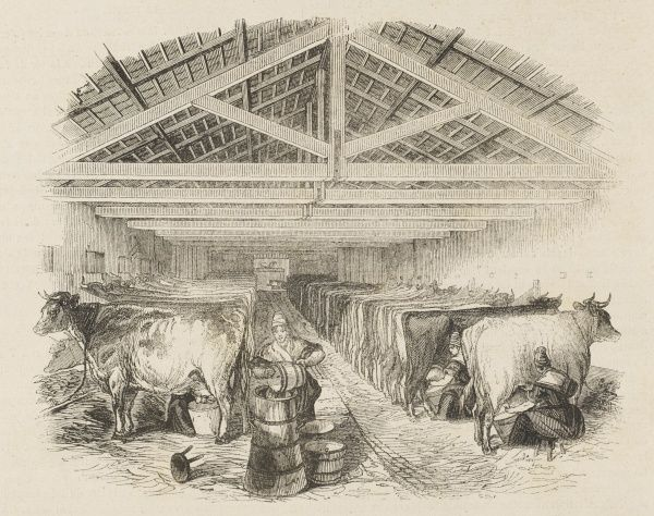 An English milking parlour, with milkmaids at work