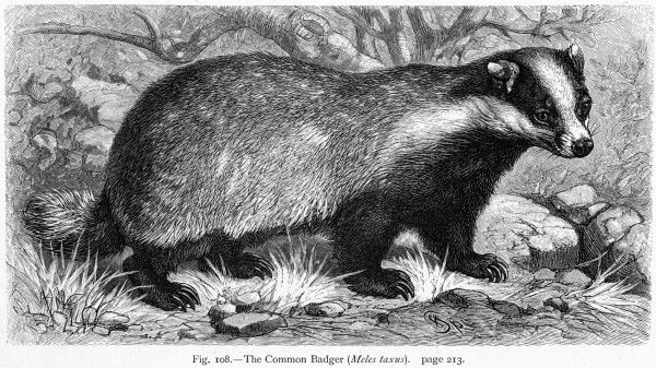 (meles meles) The common or Eurasian badger
