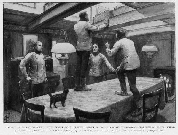 Members of the Shackleton and Scott 'Discovery' expedition of the Antarctic grow crocuses in the ward-room