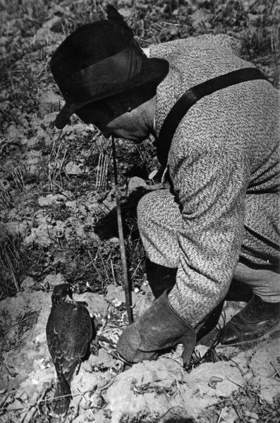 The falconer crouches down to feed the bird, wearing a protective gauntlet glove. Date: 1930s