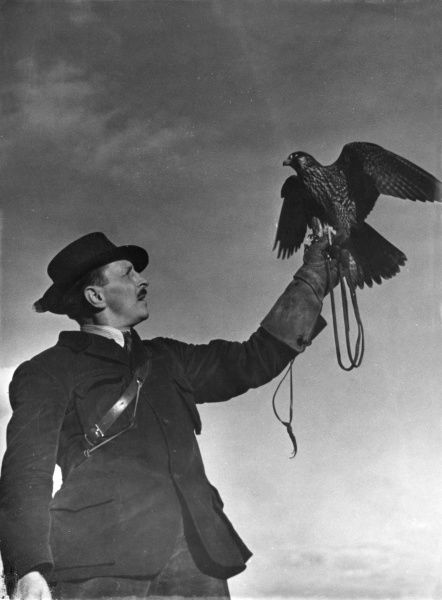 A proud falconer shows off his falcon, holding it up in the air on his protective gauntlet glove. Date: 1930s