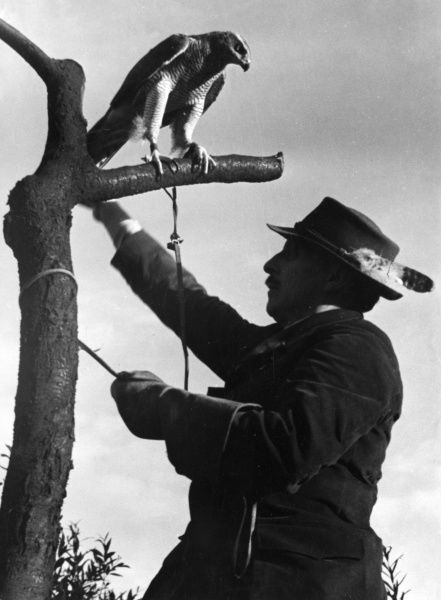 The falconer tethers the bird to the branch of a tree. Date: 1930s