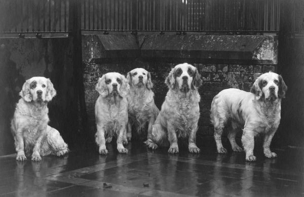 A group of Sandringham Clumber spaniels including SANDRINGHAM SWING. Owned and bred by King George V. Photographed at Sandringham Kennels. Date: 1936