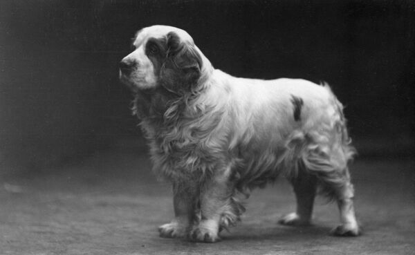 WITLEY ACTING MAJOR, Clumber Spaniel owned by Hedley. Date: 1929