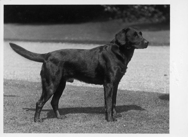 CHAMPION CHEVERELLS BEN OF BANCHORY CRUFTS BEST IN SHOW 1937 Owned by RG Heaton Bred by Lorna, Countess Howe Sired by Ch. Ingleston Ben