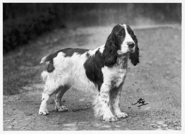 CHAMPION EXQUISITE MODEL OF WARE CRUFTS BEST IN SHOW 1938 & 39 Owned by CCD Youings Bred by HS Lloyd Sired by Ch. Whoopee of Ware