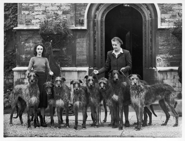 Miss Hartley with a group of eight Rotherwood deerhounds