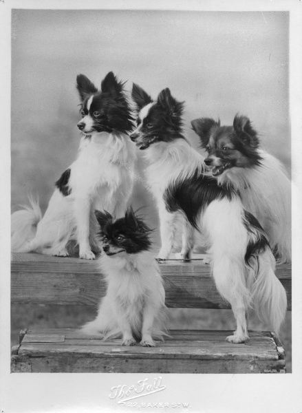A group of four papillons owned by Mrs Pope