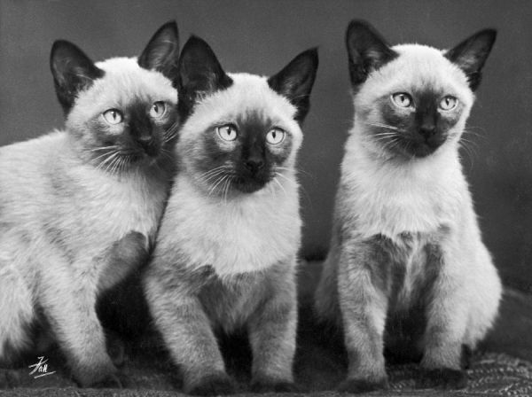 A group of three sweet Siamese kittens sitting together