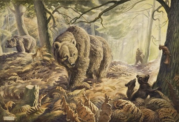 A Family of brown bears pace through a fern-laden wood. Two young bear cubs are interested in a red squirrel, safely halfway up a tree trunk! Pastel drawing by Raymond Sheppard
