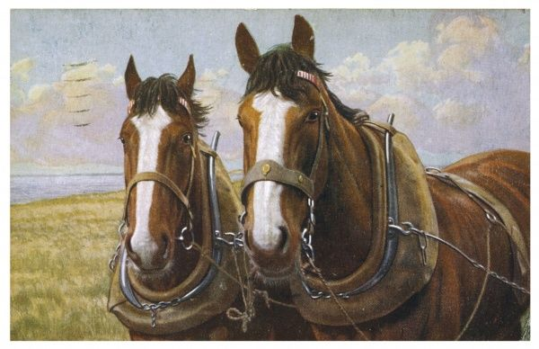 Two farm horses in working harness
