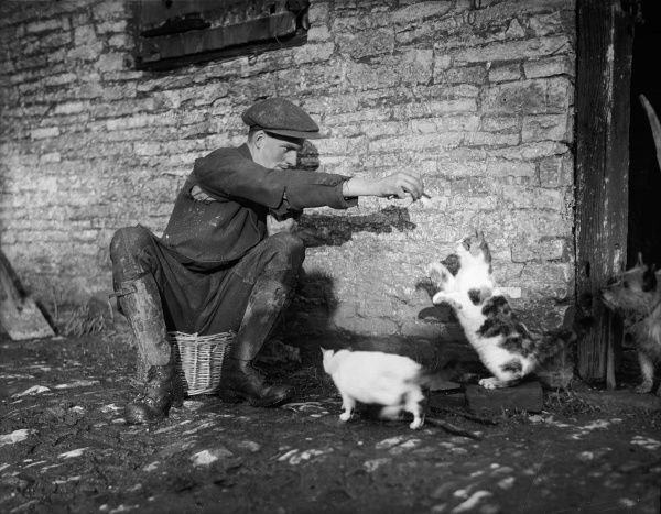 A farmer or farm hand sits in a wicker basket and feeds two hungry cats, one of them begging on its hind legs! Note the hopeful dog on the right. Date: early 1930s