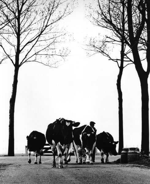 A farmer leads his cows down a country road
