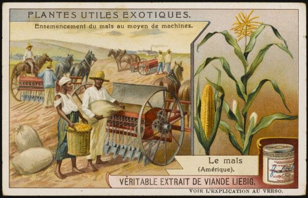 Maize (Indian Corn) cultivation in the United States of America