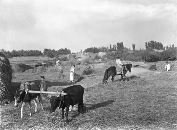 A farming scene in Kashgar, western China, at harvest time
