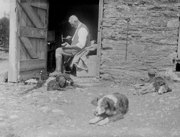 Dogs sleeping in a Devon (England) farmyard, happy to be beside the farmer, hammering in his outbuilding. Date: early 1930s