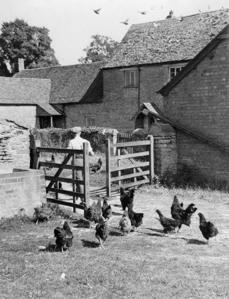 Poultry in the farmyard of an Oxfordshire farm, England