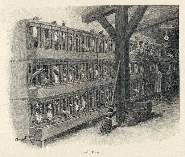 Battery farming in 19th century France - keeping geese in 'mues' to fatten them up to provide foie gras