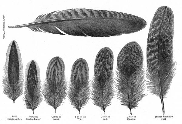 Feathers from partridge cochin hens: longer secondary quill; solid hackle-feather; pencilled hackle-feather; centre of breast; flat of the wing; centre of back; centre of cushion; shorter secondary quill. Date: Late 19th Century
