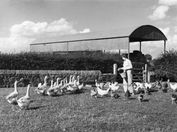 Feeding time, a scene on a farm in Cheshire, England, showing geese and poultry being fed on grain. Date: 1960s