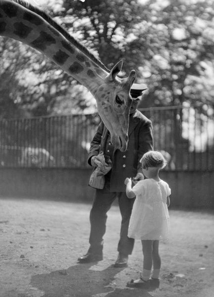 A little girl helps one of the keepers to feed a giraffe at the zoo. Date: early 1930s