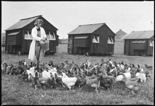 Feeding hens at the East Sussex School of Agriculture
