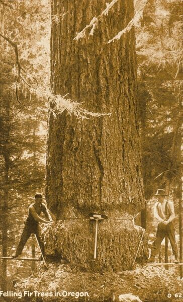 Felling a giant fir tree in Oregon, USA. The lower bark has been stripped and a thin cut has been made through the trunk into which two wedges have been forced, now providing support for the large mallet which did the forcing! The downfall of