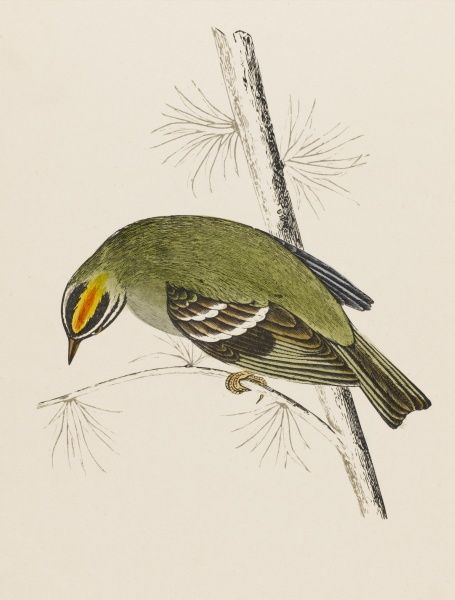 FIRE-CRESTED WREN (Regulus ignicapillus) sometimes called the FIRECREST An irregular visitor to Britain