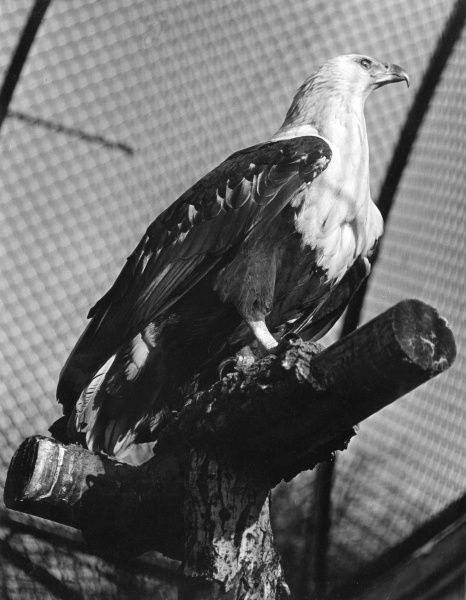 A Fish Eagle, sitting on its perch in a cage at London Zoo. Date: 1960s