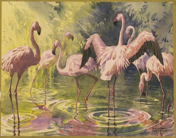 Pink flamingoes wading in a pool