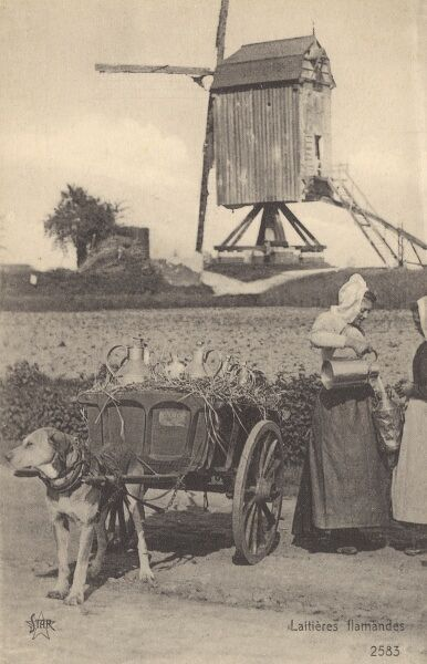 Flemish Milk cart pulled by a labrador - Belgium. The milkmaid is pouring out a windmill owner's daily jug of the white stuff. Date: circa 1910s