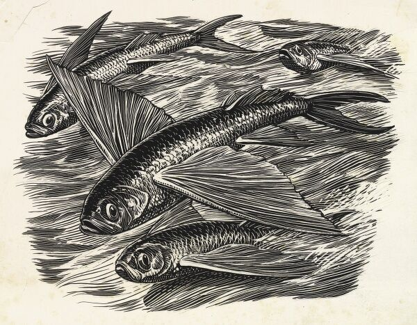 Flying fish, an illustration by Raymond Sheppard to the Ernest Hemingway novella 'The Old Man and the Sea' published in 1952