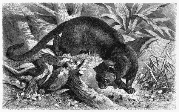 Cryptoprocta ferox. Known as foussa in Madagascar, where it lives : it is pretty much like a weasel or genet