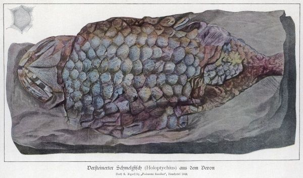 A complete holoptychius fossil found in Devonian stratum, which dates back to between 354 and 417 million years ago
