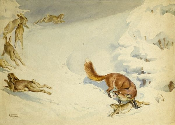 A fox chases a colony of rabbits through the snow and brings one down