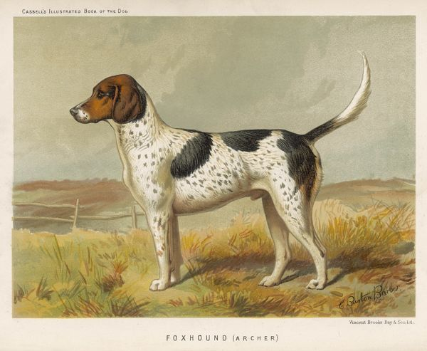 Foxhound in the field
