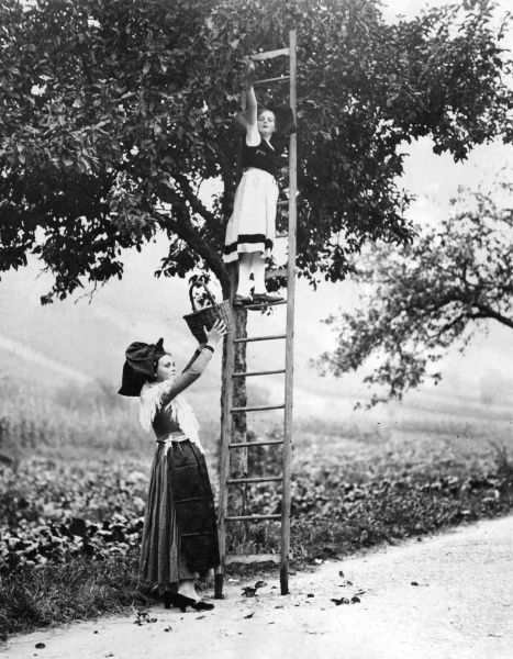 French girls picking fruit with a ladder up a tree, in an unspecified region of France. Date: 1930s