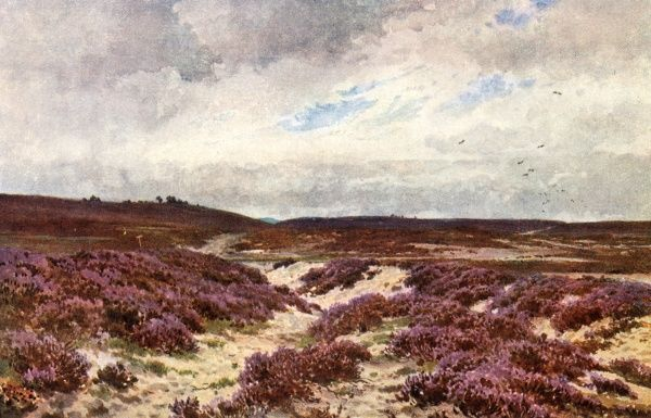 Heather is spread wide on the sandy soil of the common at Frensham, Surrey, England. Date: 1906